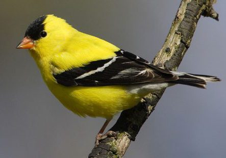 gold_finch_1-top-animal-sites-dot-net.jpg